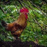 Cara Mudah Untuk Daftar Situs Sv388 Sabung Ayam